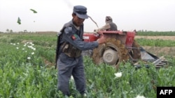 An Afghan police officer destroys a field of poppies in Helmand Province