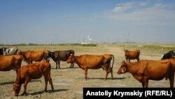 Стадо коров на фоне предприятия «Крымский титан», с которым в селе связывают свои беды. На рынке соседнего Армянска участились случаи отказа покупать домашнее молоко у жителей Перекопа