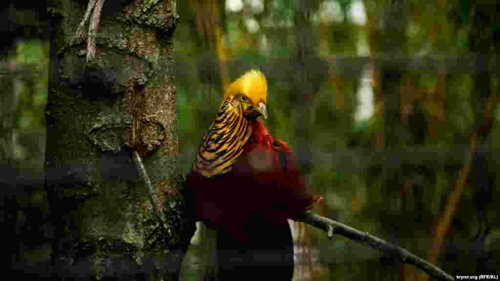 Золотий фазан у ялтинському зоопарку «Казка». Серпень 2018