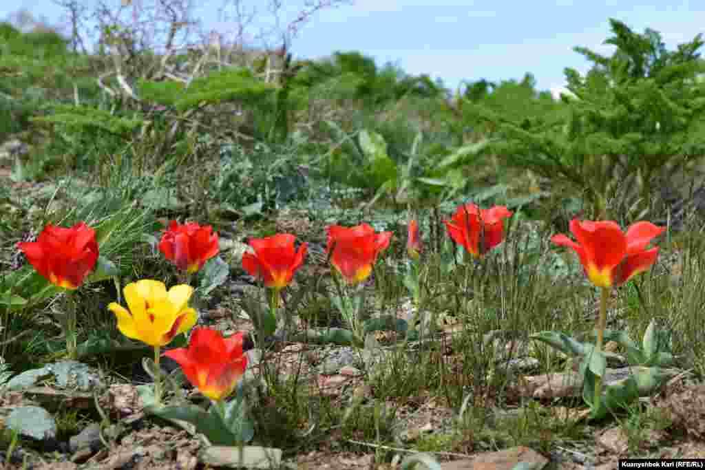 Тюльпаны, пробившиеся сквозь камни.
