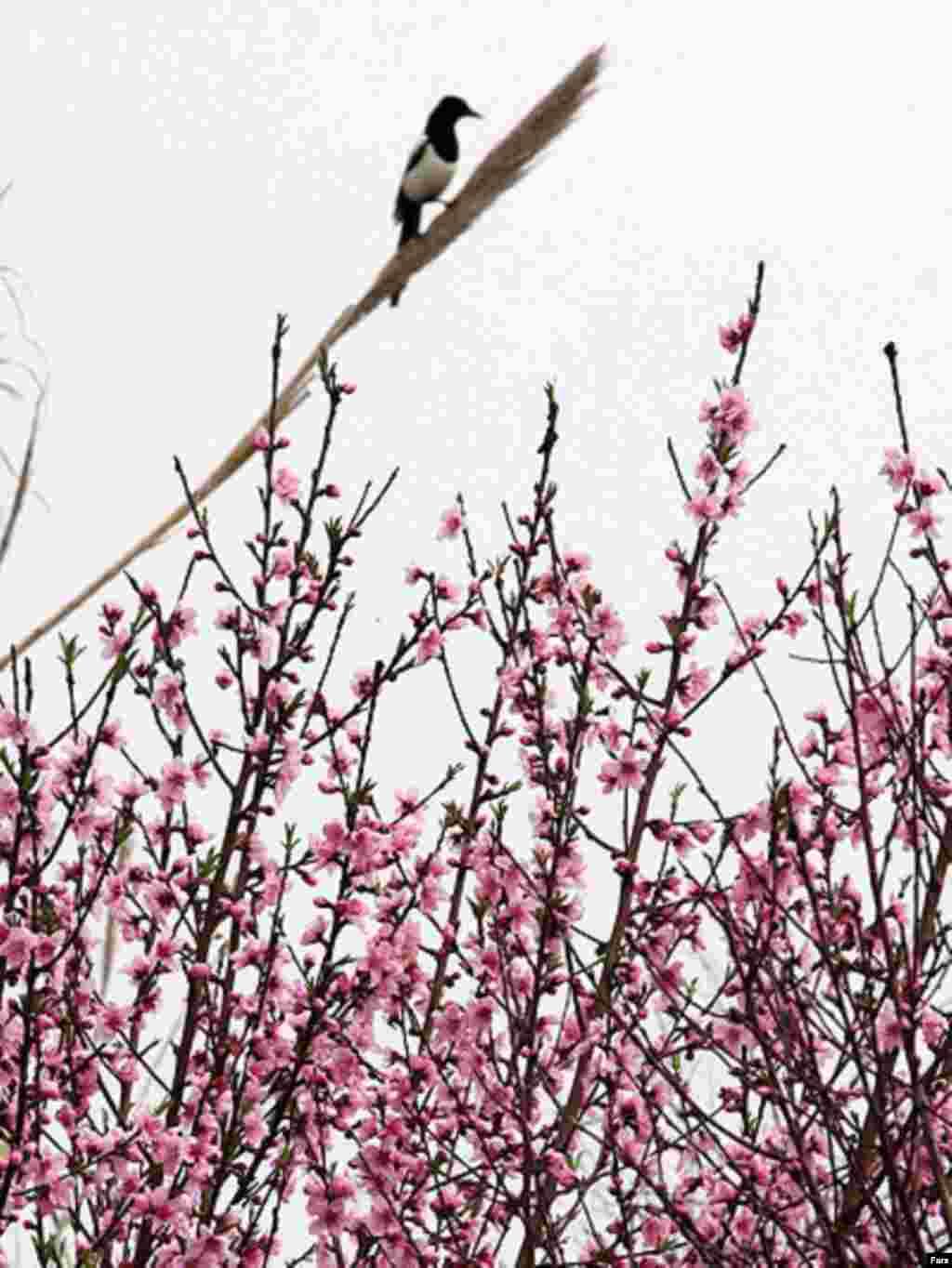درختان شکوفه میزنند، طبیعت دوباره سبز میشود/ ایران