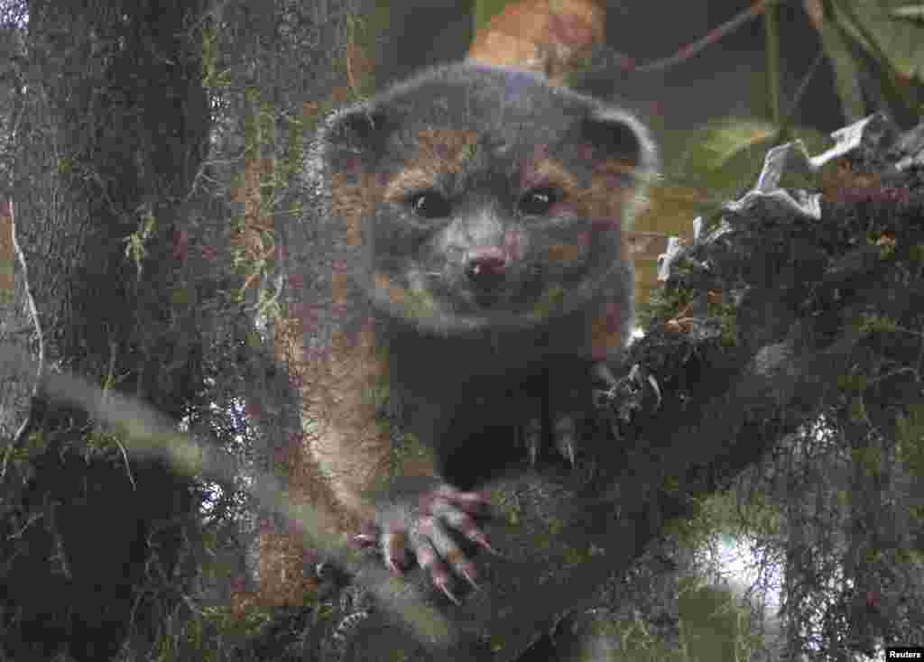An olinguito (Bassaricyon neblina), described as the first carnivore species to be discovered on the American continents in 35 years, is pictured in a cloud forest in South America. (Mark Gurney/Smithsonian Institution/Handout via Reuters)