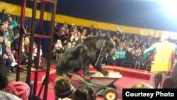Нападение медведя на дрессировщика в цирке в Олонецке