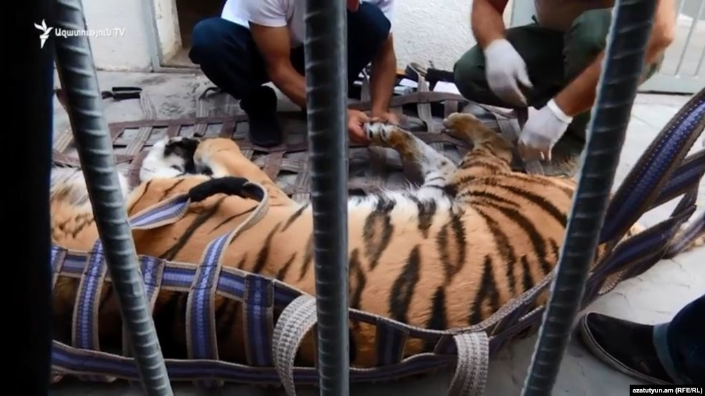 Тигр Манвела Григоряна перевезен в зоопарк