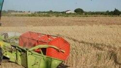 Андижонлик фермерлар топширган ғалласи пулини ололмаяпти