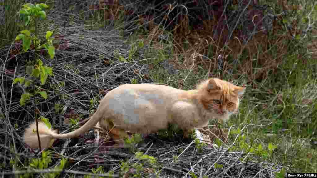 За метеликом полює дачний рудий кіт, який підстрижений «під лева»