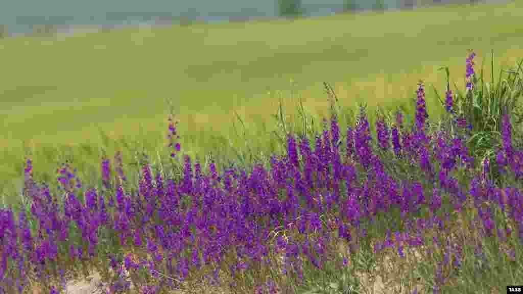 Квіти лаванди використовуються в кулінарії та парфумерії