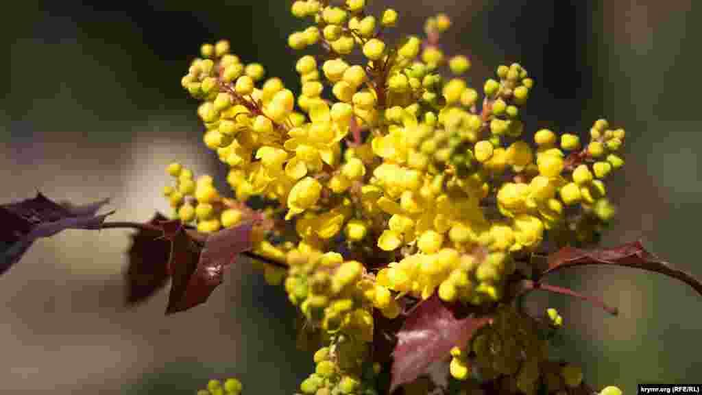 В городском парке «Екатерининский сад» расцветает магония падуболистная