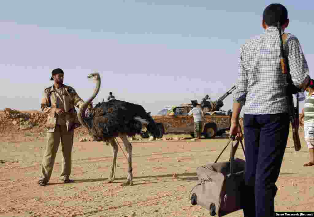 A rebel fighter in Libya with an ostrich destined for the rebels' dinner plates, September 2011.