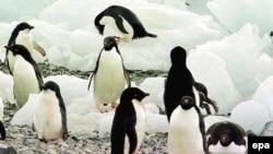 Antarktikadaky pingwinler