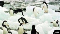 Пингвины Адели на острове Торгерсон около Антарктиды