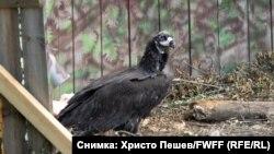 Umesto romantičnog završetka kakvom su se nadali zaljubljenici u prirodu, jedan od nedavno vraćenih crnih lešinara u Bugarsku je stradao od metka iz puške lovokradice.