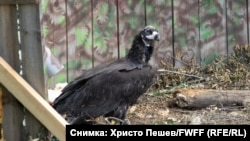 Instead of the romantic ending nature lovers were hoping for, one of Bulgaria's recently reintroduced black vultures was shot and killed by a poacher.
