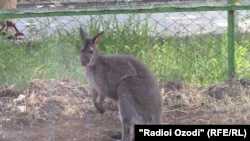 Чешский зоопарк Глубока над Влтавоу подарил Душанбе кенгуру