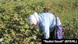 The stabbing is the second deadly incident that has occurred in a cotton-picking area in Qashqadaryo this month. (file photo)