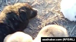 """Активисты сообщают о продолжающейся """"зачистке"""" Ашхабада от бездомных животных"""