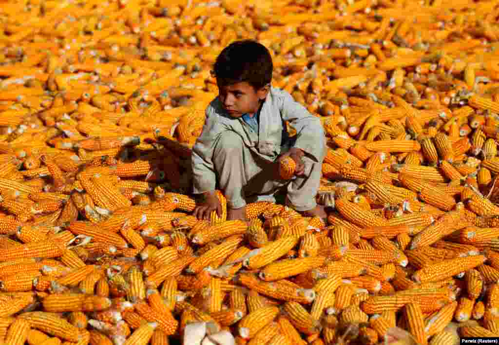An Afghan boy sits on corn cobs after the harvest in a field in Nangarhar Province. (Reuters/Parwiz)