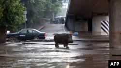 Վրաստան - Ջրհեղեղի հետևանքով Թբիլիսիի կենդանաբանական այգուց գետաձի էր փախել, 14-ը հունիսի, 2015թ․
