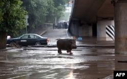 Сбежавший из зоопарка во время наводнения бегемот