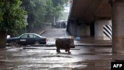 Зоопарктан качып кеткен бегемот шаар аралап жүрөт. Тбилиси, 14-июнь, 2015-жыл.