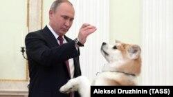 Владимир Путин с собакой по кличке Юмэ породы акита перед началом интервью японским СМИ в преддверии официального визита в Японию, 13 декабря 2016 года