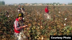 Uzbek students pick cotton in Kashkadaryo earlier this month.