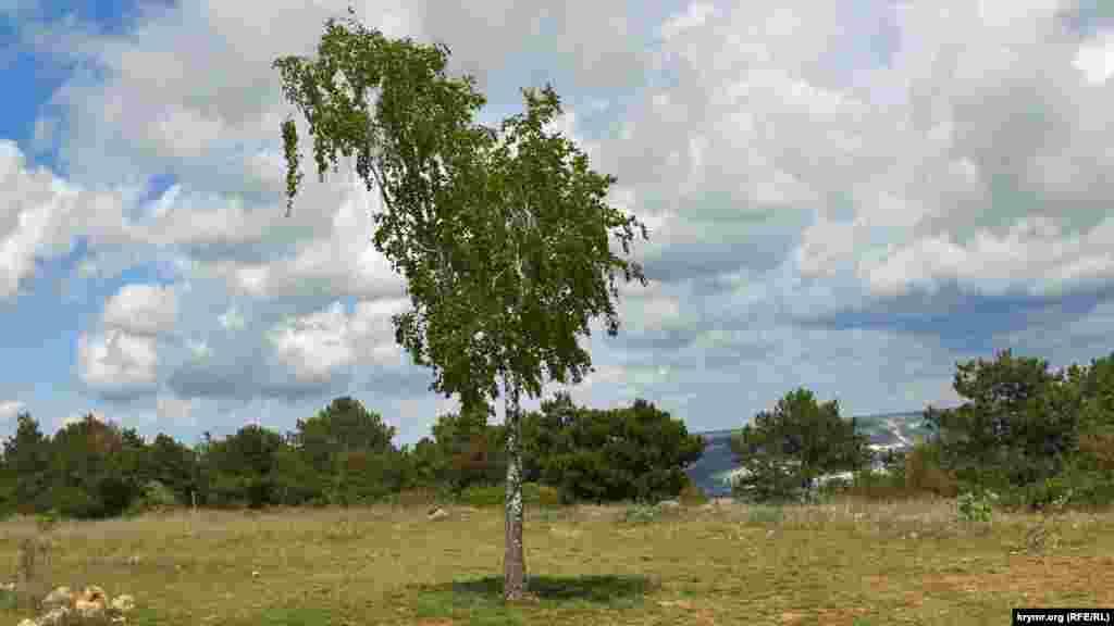На лесной опушке выросла одинокая береза