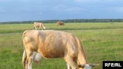 Человек помог коровам победить страшную болезнь