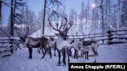 Северные олени (архивное фото)