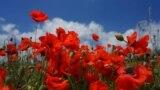 За старым персиковым садом поле «захватили» дикорастущие маки