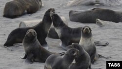 Тюлени на лежбище