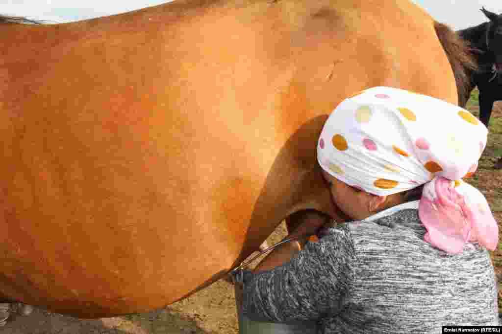 """Дойка кобыл. В последнее время среди туристов очень популярно парное кобылье молоко """"саамал"""" вместо кумыса"""