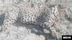 جسد پلنگی که در روستای امیرانلو پیدا شده است.