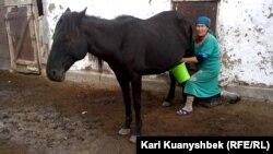 Гульбаршын Смагул, жительница села Саржал, доит кобылицу.