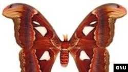 """""""Атакус атлас"""", одна из крупнейших бабочек Юго-Восточной Азии"""