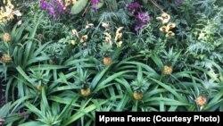 Орхидеи с ананасами