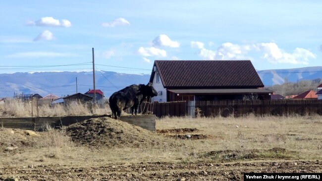 Огромный черный бык как часовой осматривает окрестности