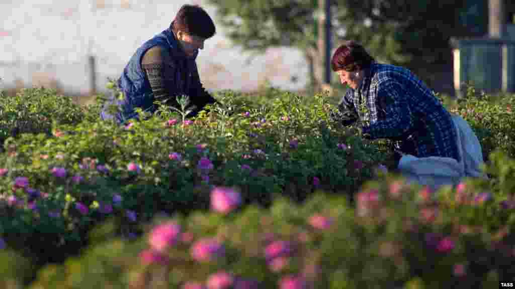 Закінчують збір до 11 години дня – в цей час концентрація ефірних масел у квітах найвища