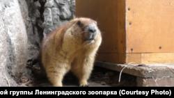 Сурок из Ленинградского зоопарка