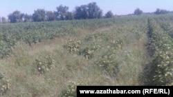Марыйские фермеры обеспокоены беспрецедентной гибелью посевов, президент Туркменистана ждет богатого урожая.