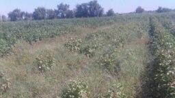 Хлопковое поле в Мары