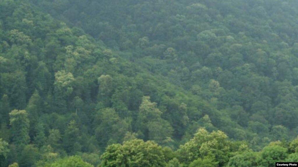 В лесах Степанавана в 2016-2018 гг. было вырублено 1462 дерева, обвинение предъявлено 16 лицам - СК