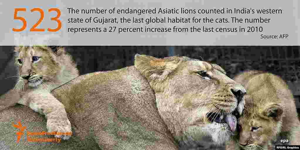 523 - число азиатских львов, живущих в штате Гуджарат на западе Индии. Это на 27 процентов больше, чем в 5 лет назад