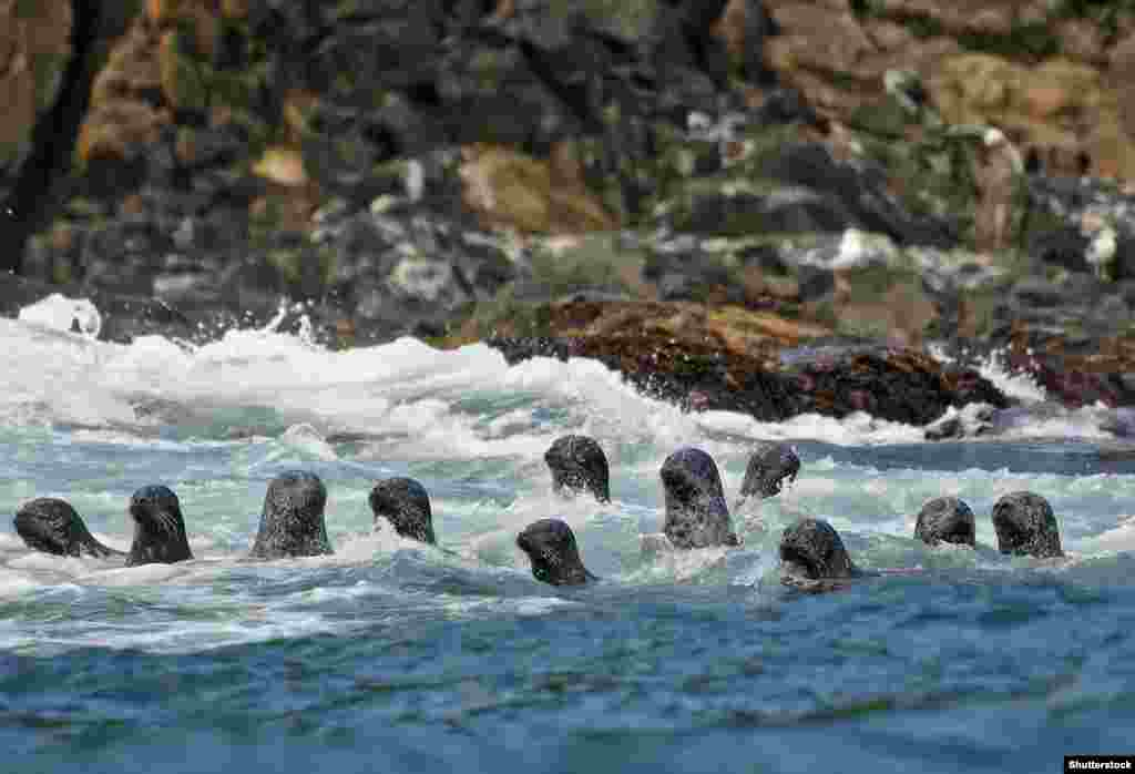 Seals swimming off Kunashir Island. Waters around the disputed islands teem with sea life worth an estimated $4 billion per year in potential fisheries value. Japanese authorities have vowed to carefully exploit the fishing, and tourism potential of the southern Kuriles if Russia returns the four Islands.