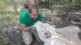 За закрытыми воротами «Тайгана»: как сейчас живет парк львов? (видео)