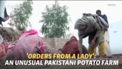 'Orders From A Lady': An Unusual Pakistani Potato Farm