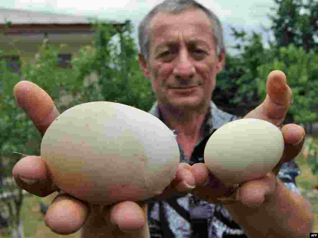 "Murman Modebadze of Georgia holds a giant chicken egg -- 82mm long, 62mm wide, 170 grams -- next to an average-sized egg in the village of Zestafoni, 200 kilometers west of Tbilisi. The Modebadze family has submitted the egg for inclusion in the ""Guinness Book of Records."" Photo by Vano Shlamov (AFP)"