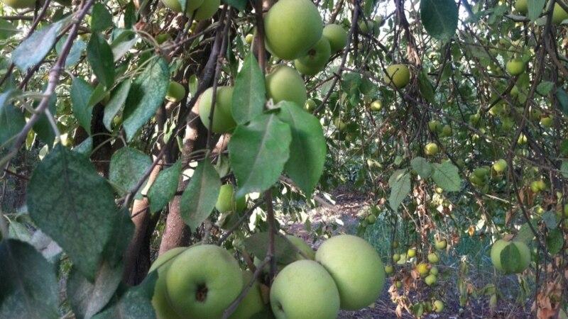 Яблоки в форме сидра, сока и политики