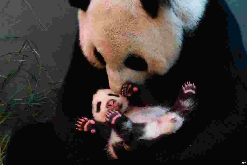 Giant panda Yuan Yuan holds her baby at the Taipei City Zoo in Taiwan. The cub, the first panda born in Taiwan, was delivered on July 7 following a series of artificial insemination sessions after her parents -- Yuan Yuan and her partner, Tuan Tuan -- failed to conceive naturally. (AFP/Taipei City Zoo)