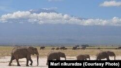 სპილოები აფრიკაში